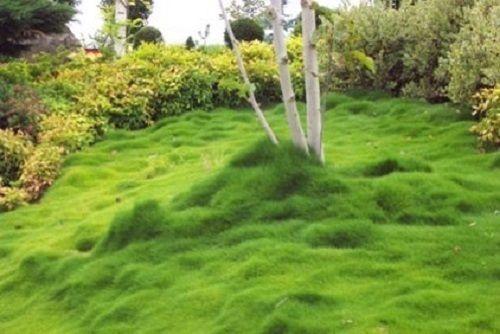 Korean Lawn Grass Seeds Zoysia Lawn Grass Perennial Ground Cover Bodendecker Rasen Alternative Naturnaher Garten