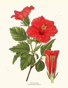 Botanical Illustration Scientific Hibiscus Google Search Hibiscus Drawing Botanical Drawings Vintage Botanical Prints