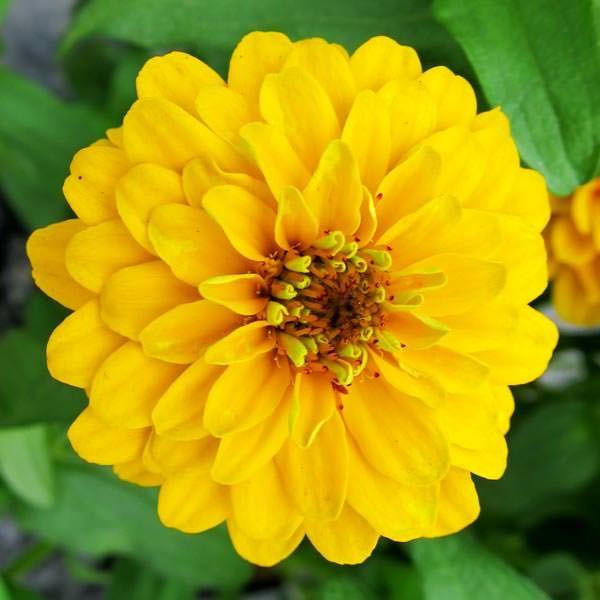 Aztec gold zinnia blooming zinnia frkenhat pinterest aztec gold zinnia blooming mightylinksfo