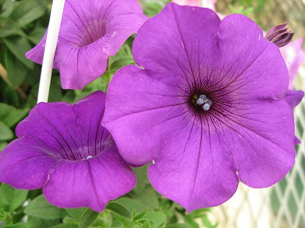 colour with flowers  Petunia