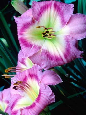 Top Rabbit-Resistant Plants:  Daylily          One of the hardiest garden plants, daylilies bloom in a rainbow of shades and can take all but the toughest conditions. Grow them in full sun and enjoy their easy-growing beauty.  Name: Hemerocallis varieties  Growing conditions: Full sun and well-drained soil  Height: 2-6 feet tall, depending on variety  Zones: 3-10, depending on variety