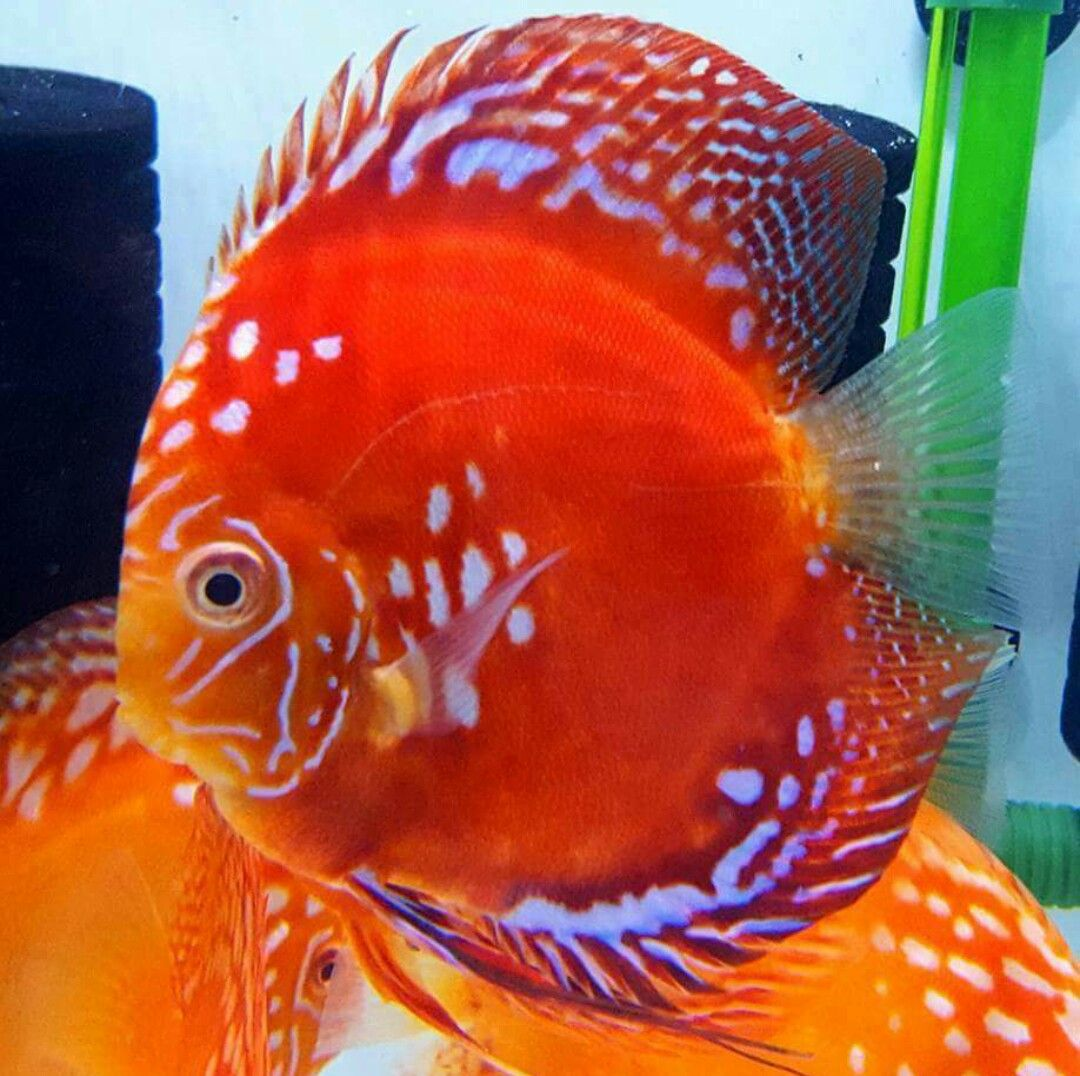 Pin by Navarro Edwards on Discus fish | Pinterest | Discus, Fish and ...