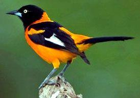 Aves de la Sierra Nevada de Santa Marta: Turpiales ...