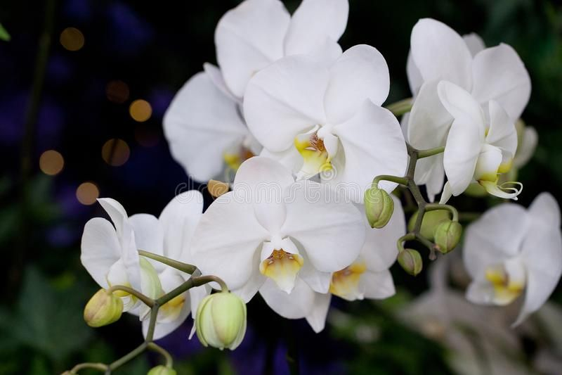White Orchid Flowers Beautiful White Orchid Flowers On A Branch Affiliate Flowers Orchid White Branch White Orchid Flower Flower Images Orchids