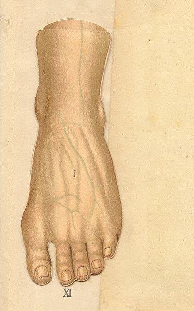 anatomie pied 1 | Flickr - Photo Sharing!