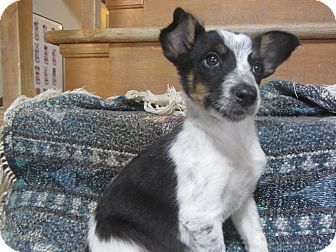Border Collie Australian Cattle Dog Mix Puppy For Adoption In Ridgway Colorado With Images Australian Cattle Dog Mix Cattle Dogs Mix Border Collie