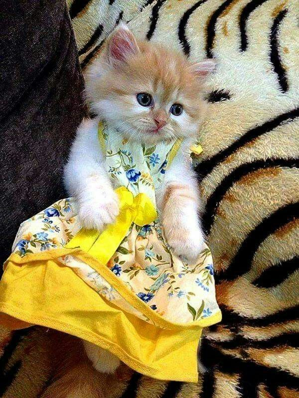 I am dressed for success  #animals #catlover #catoftheday #catsrule #cat #cutecat #kitty