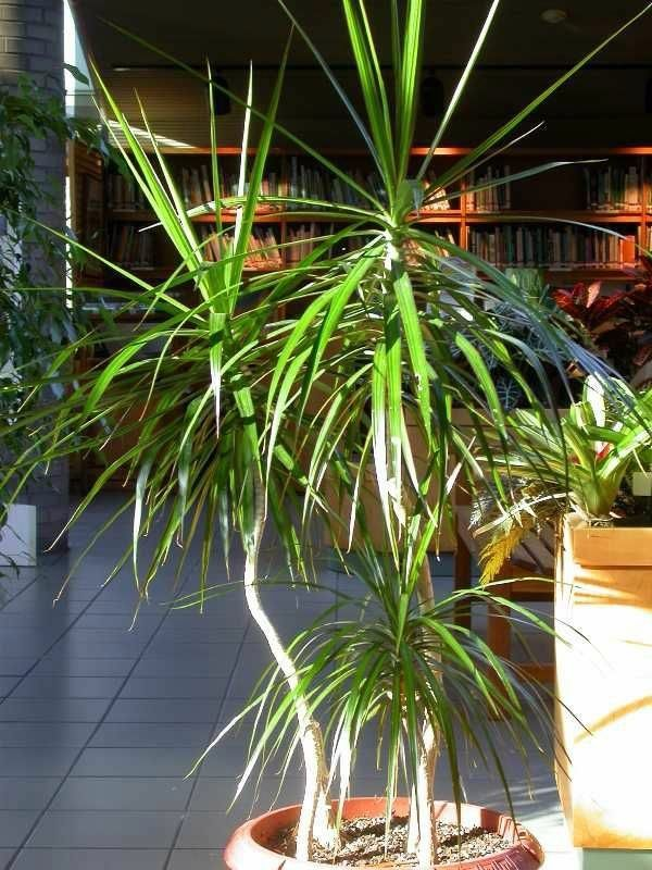Indoor palm images - which are the typical types of palm trees ...