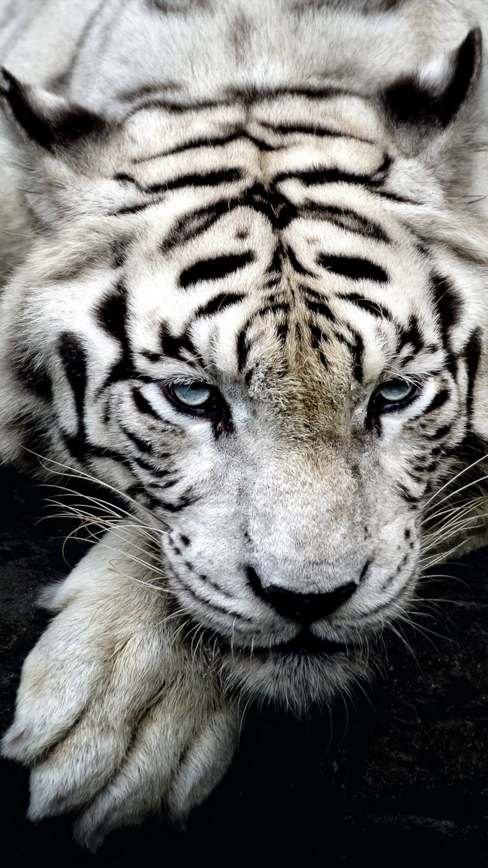 White Tiger Wildlife Wild Animal Wallpaper Pet Tiger Tiger Wallpaper