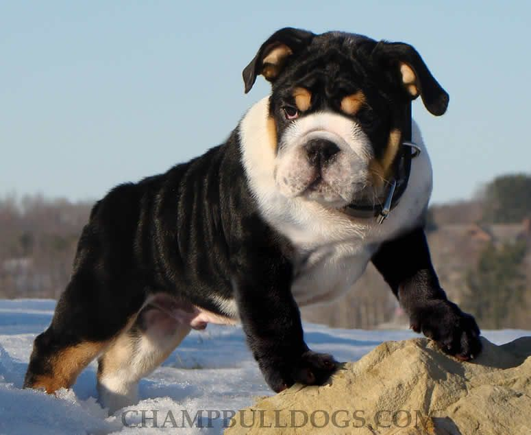 Uncommonly Colored Black English Bulldog Bulldog Puppies