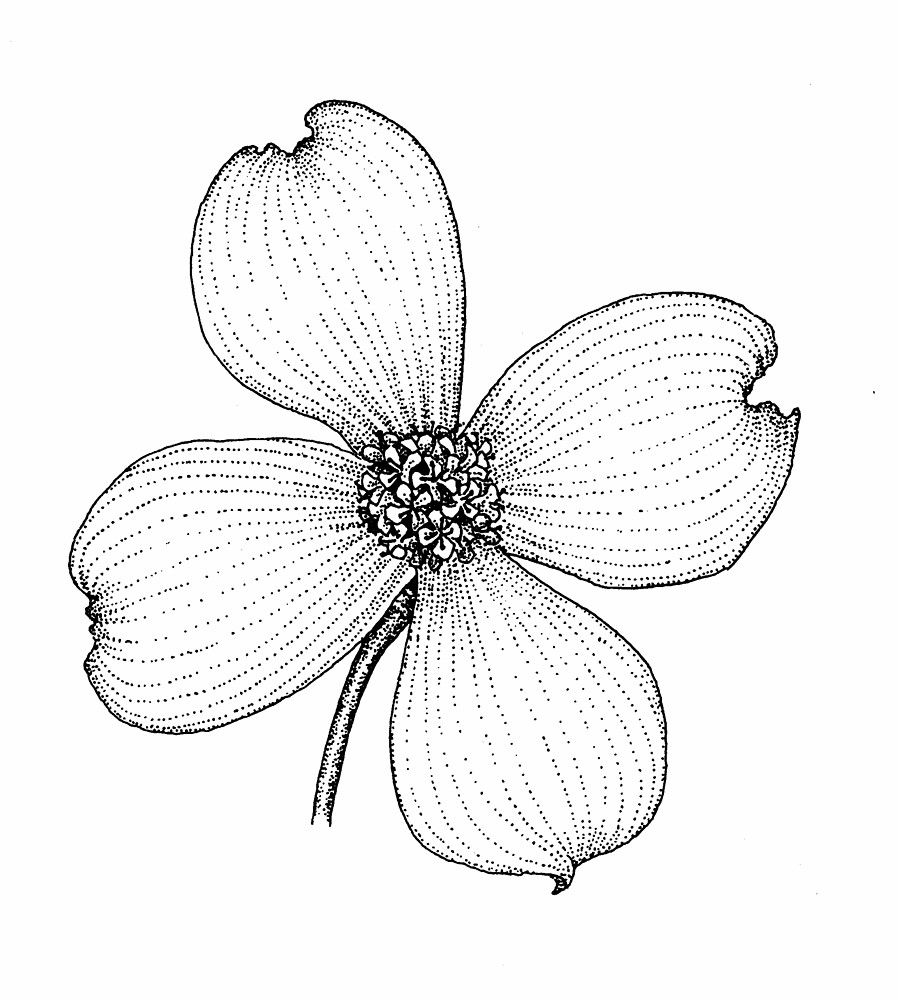 Dogwood Outline  Copyright: Various Copyright Holders To Reuse An Image,  Please Click