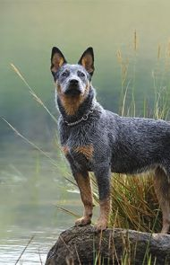 Australian Cattle Dog Breed Information, Pictures
