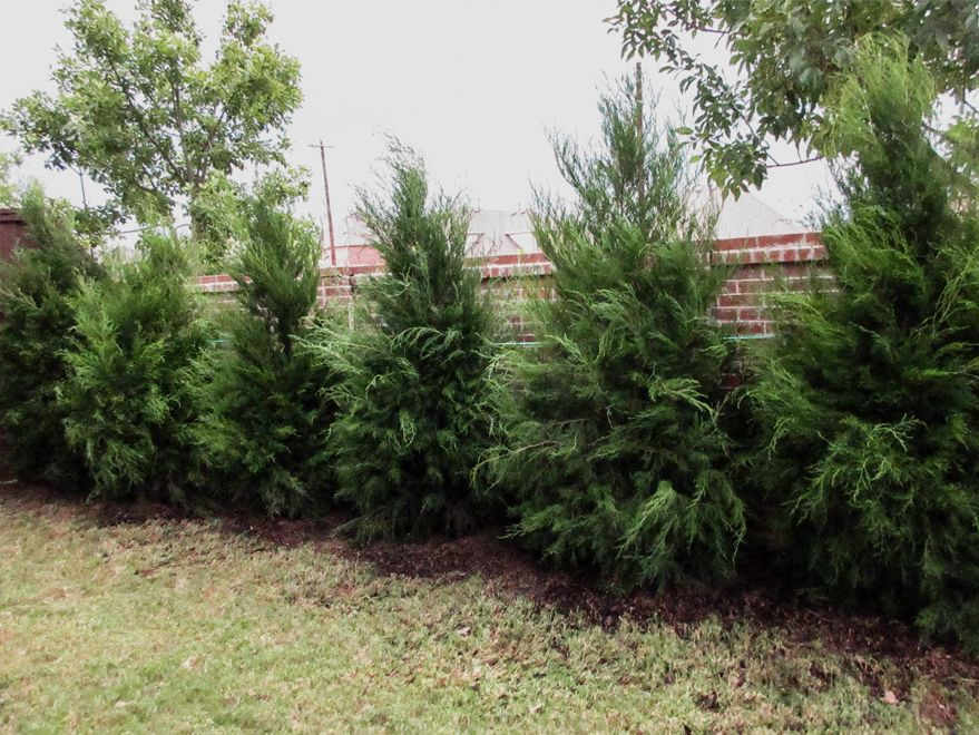 Greenbelt Eastern Red Cedar Privacy Screen Available At Treeland Nursery In Gunter Tx