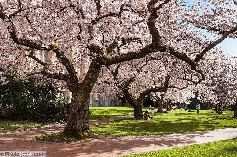 Yoshino Cherry Trees Bloom On University Of Washington Quad Seattle Usa Portfolio Photoseek Com Yoshino Cherry Tree Yoshino Cherry Tree