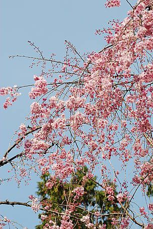 Climate Witness 2 Toemon Sano Japan Cherry Blossom Trees Are Not Growing In Time And Sometimes Not At All Lets Be Gua Ecology Cherry Blossom Tree Climates