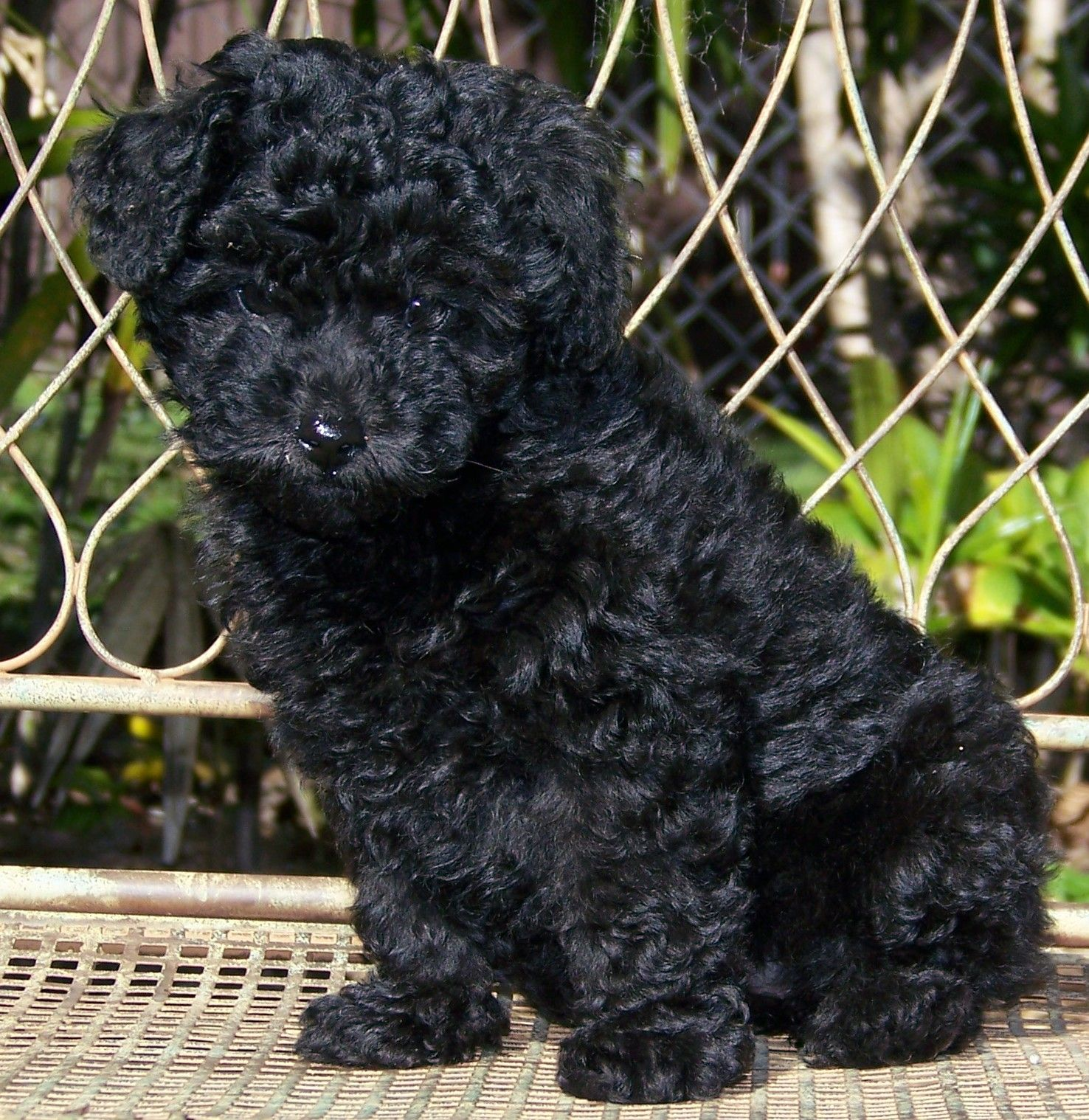 Poodles Are So Smart And Sweet Cuccioli Di Cani Cani Felici