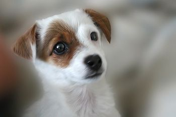 Jack Russel Terrier Puppy Jack Russell Jack Russell Terrier Dogs