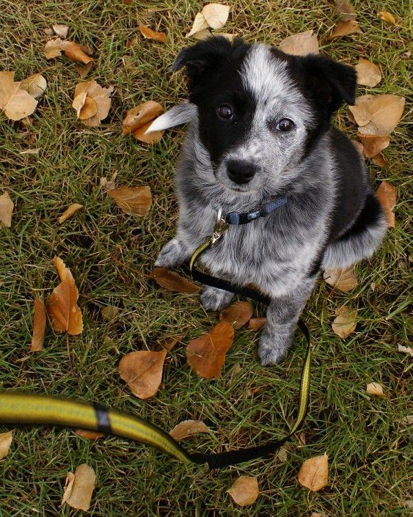 Australian Shepherd Puppy Diggity Dogs Pinterest