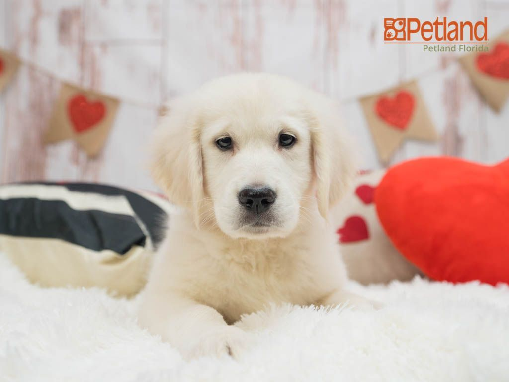 Puppies For Sale Retriever Puppy Puppies Dog Lovers