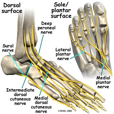 Nerve anatomy of the foot