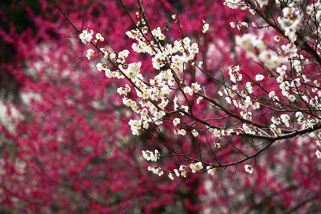 White Ume Tree Garden History Blossom Trees English Garden Style
