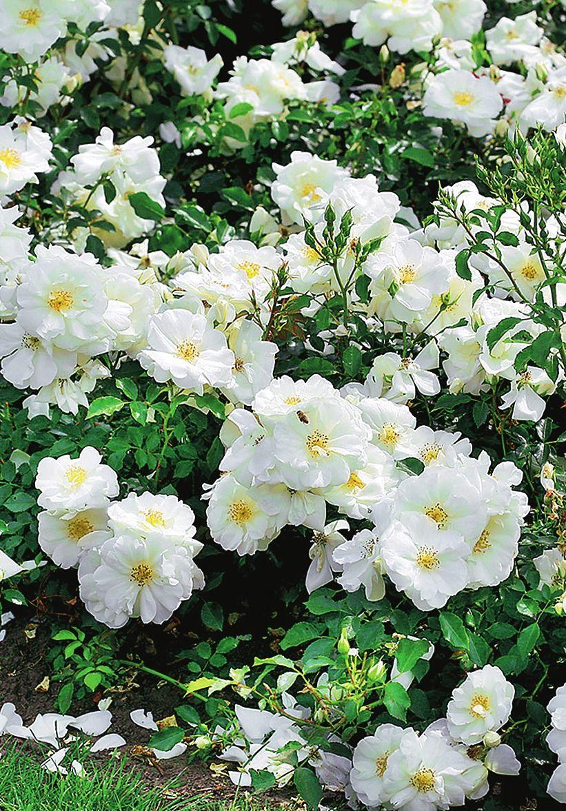 Rosa Floribunda Flower Carpet White Schneeflocke White Flower