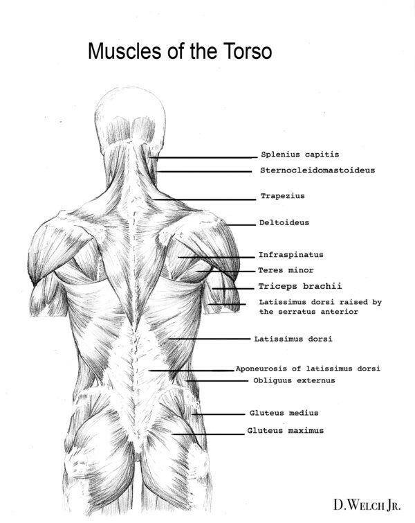 Pin By On Anatomy Pinterest Anatomy