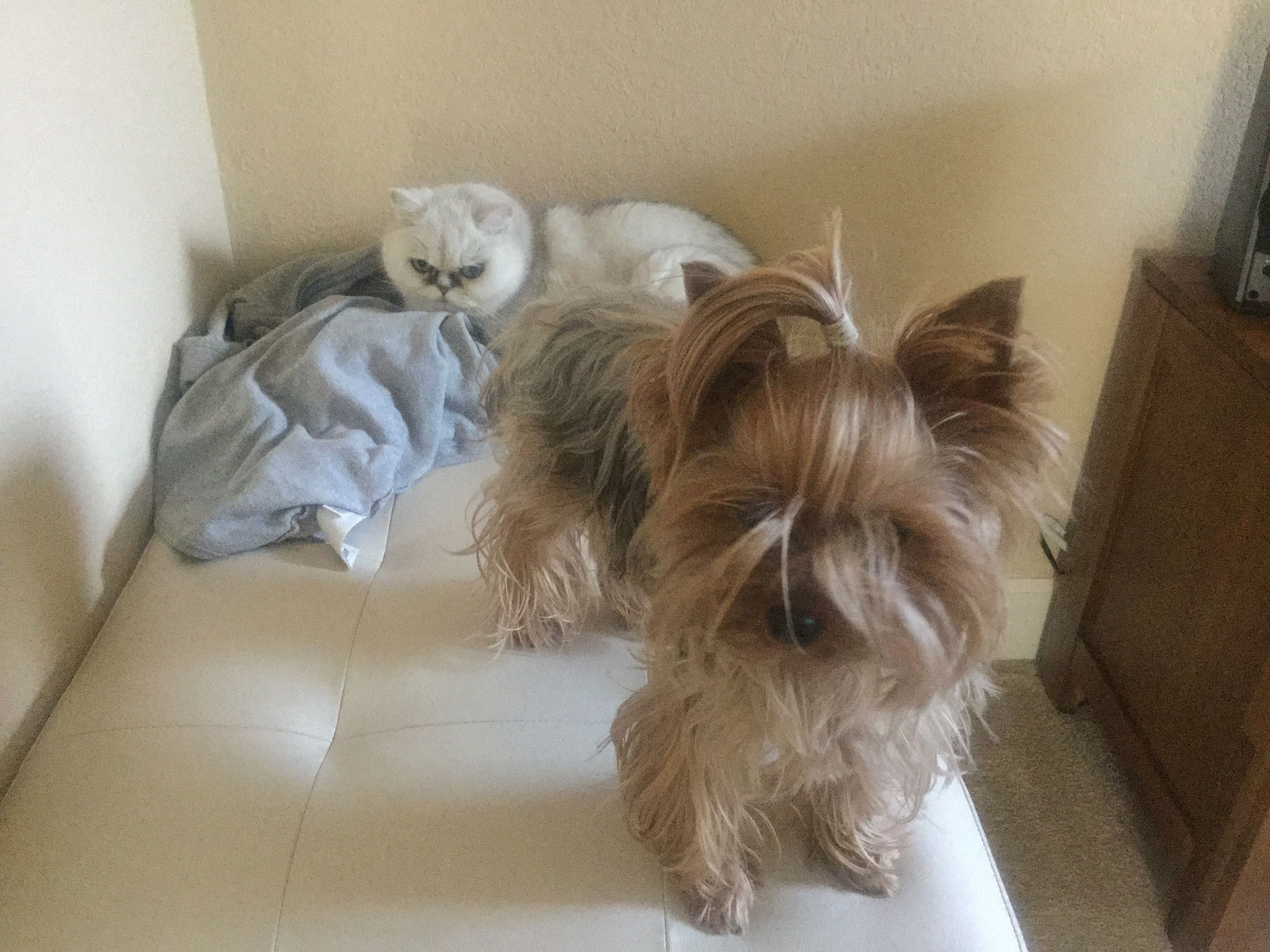 Pin By Carla Mink On Yorkies Yorkshire Terrier Yorkie Dog Breeds