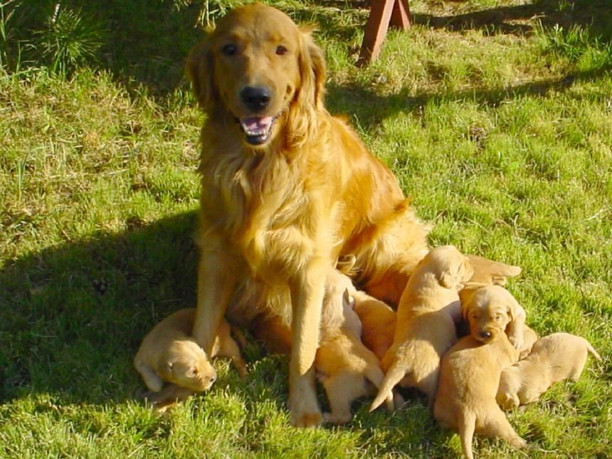 Colorado Golden Retriever Puppies For Sale Golden Retriever