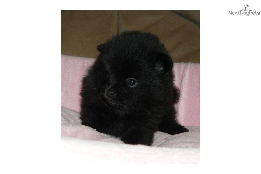 Bella pomeranian puppy for sale near springfield