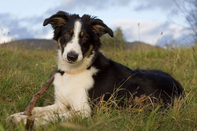 Border Collie Border Collie Collie Puppies Collie Puppies For Sale
