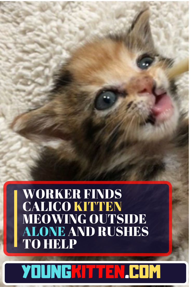 Worker Finds Calico Kitten Meowing Outside Alone And Rushes To Help Cats And Kittens Stories Kitten Meowing Calico Kitten Cats And Kittens