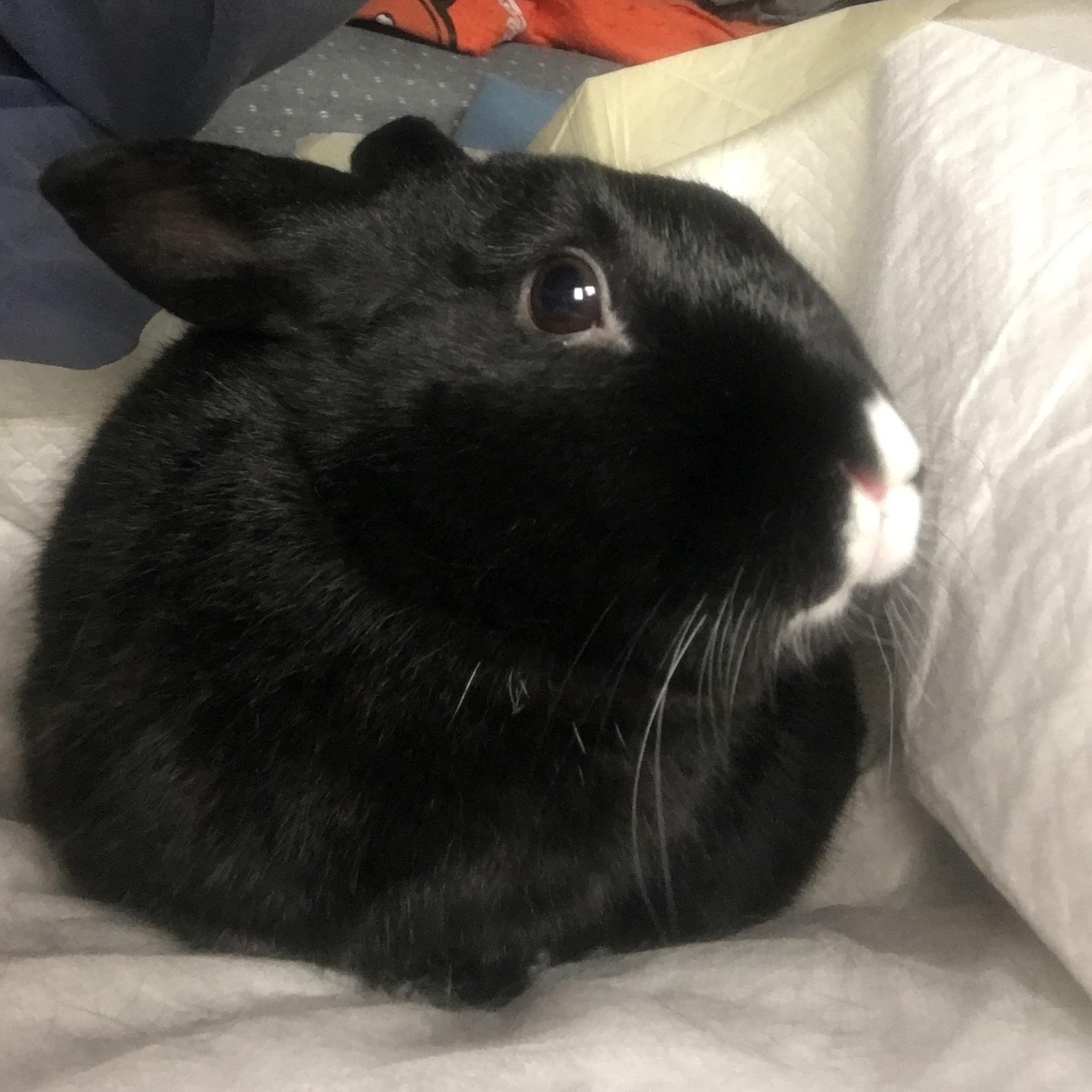 Adopt Pauly On House Rabbit Society Rabbit Adoption House Rabbit