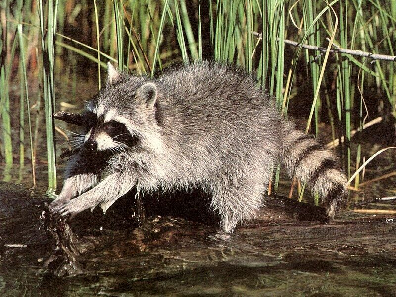 Nocturnalanimal great raccoon site amimales