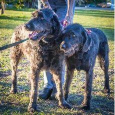 Jj 572 Golden Retriever Rescue Of Southwest Florida Inc Naples Florida Pets Overstock Com Pets