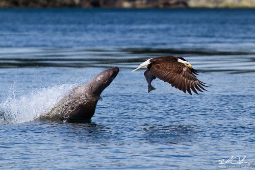 """Another pinner said, """"While on a whale watching expedition outside Juneau Alaska, we observed a Sea Lion playing with a fish it had caught. A Bald Eagle who had been circling overhead dove down and stole the fish from the Sea Lion. The Seal Lion then leaped out of the water in an unsuccessful attempt to retrieve the fish from the Eagle."""""""