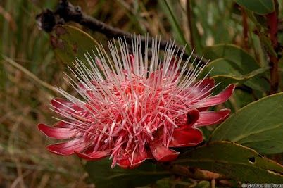 A fully open Protea Caffra, the Common Suger Bush