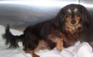 Sy Is An Adoptable Dachshund Dog In Hillsboro Mo Hi My Name Is