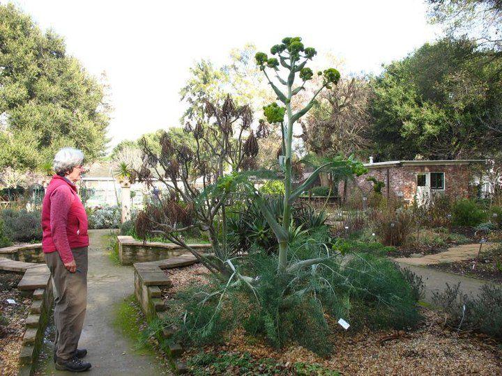 Ferula Communis: planta que Prometeu usou como tocha quando transportou o fogo do Olimpo.