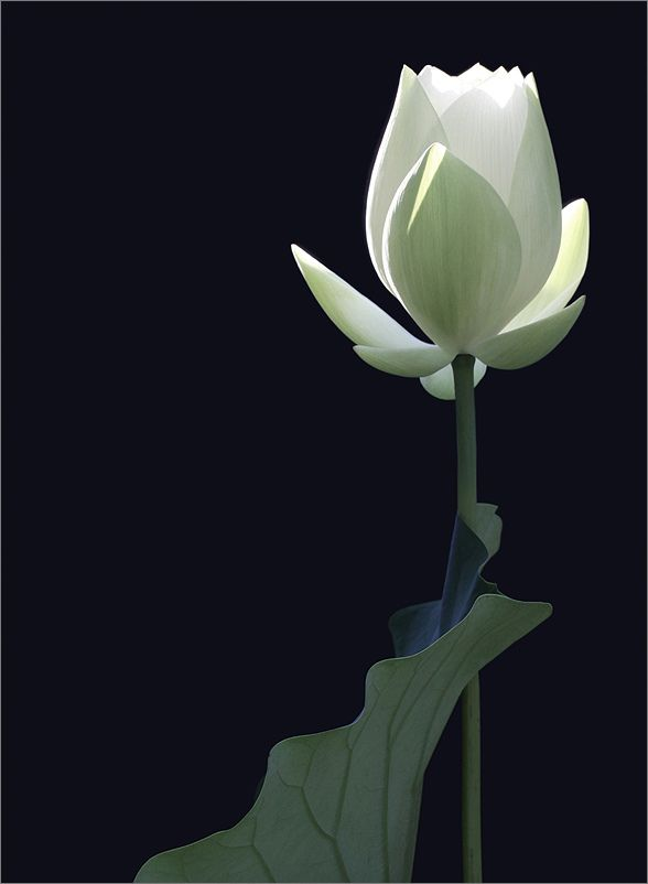 Lotus Flower And The Leaf White Img 8956 1 By Bahman Farzad White Lotus Flower White Flowers Beautiful Flowers