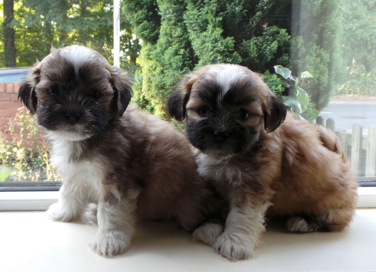 Dog Breeds Similar To Lhasa Apso
