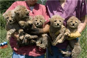 Image Search Results for National Zoo cheetah cubs