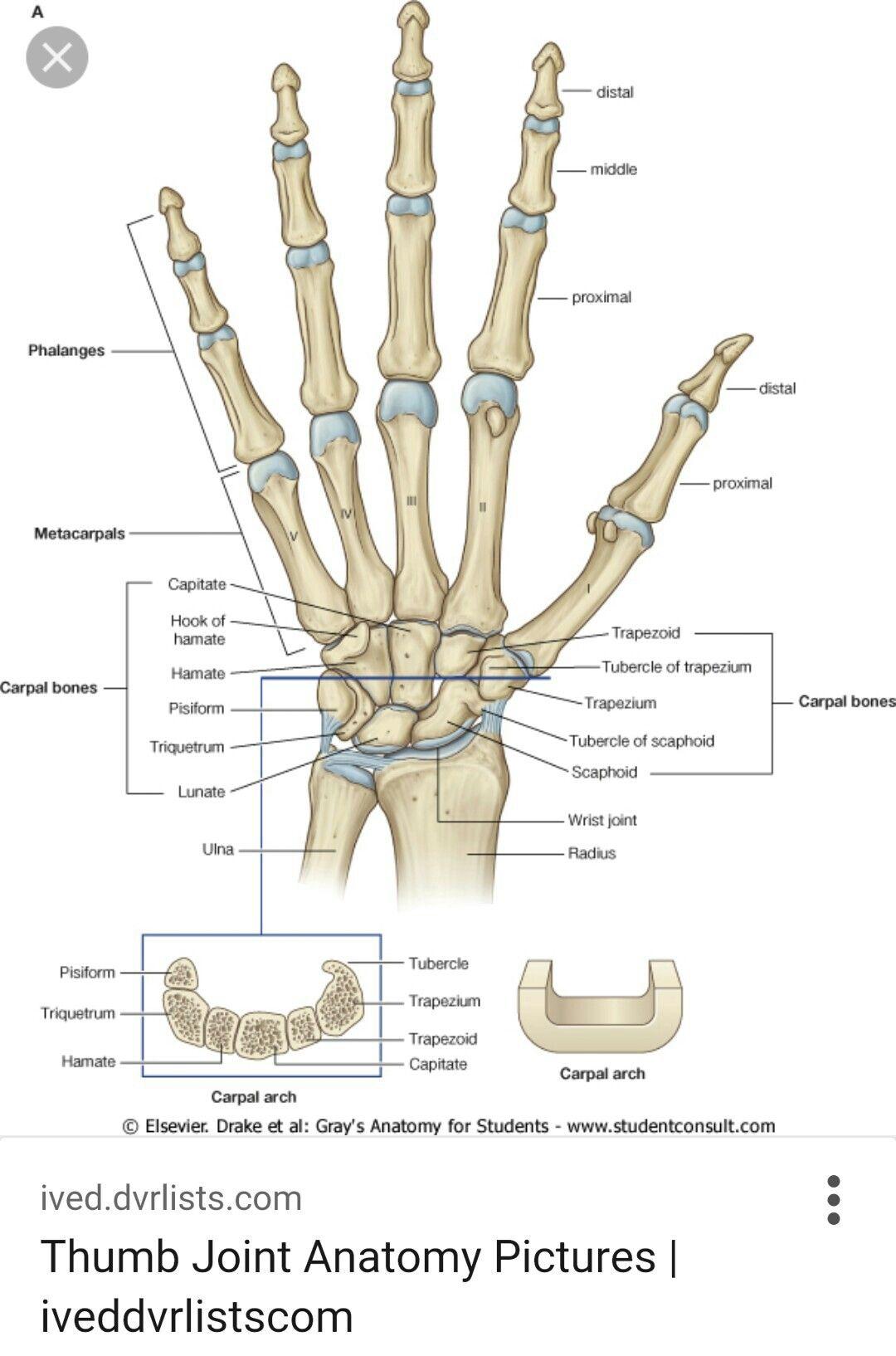 Pin By Deborah Sherrod On Medical Pinterest Hand Bone Anatomy
