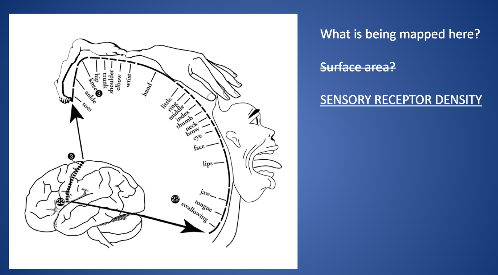 Teaching High School Psychology Motor And Sensory Cortex Activities Teaching