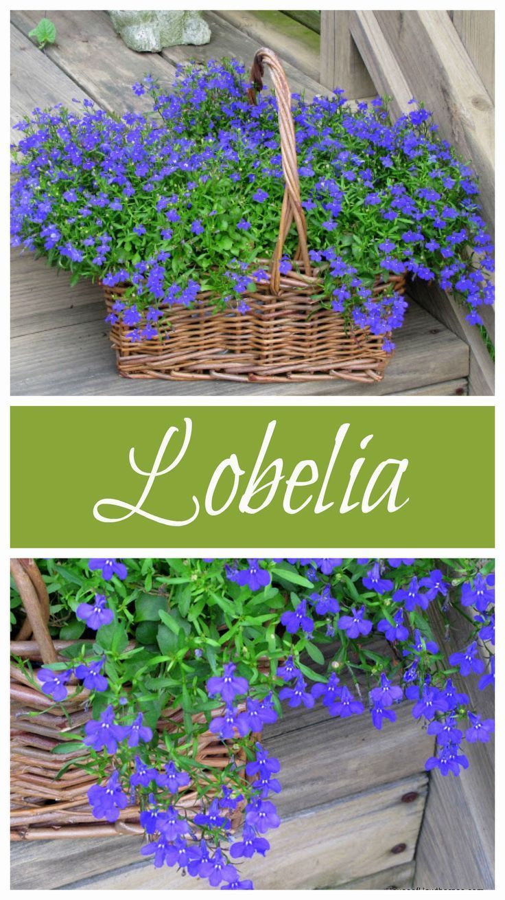 Lobelia Love Tips For Growing Lobelia Plants Pinterest Gardens