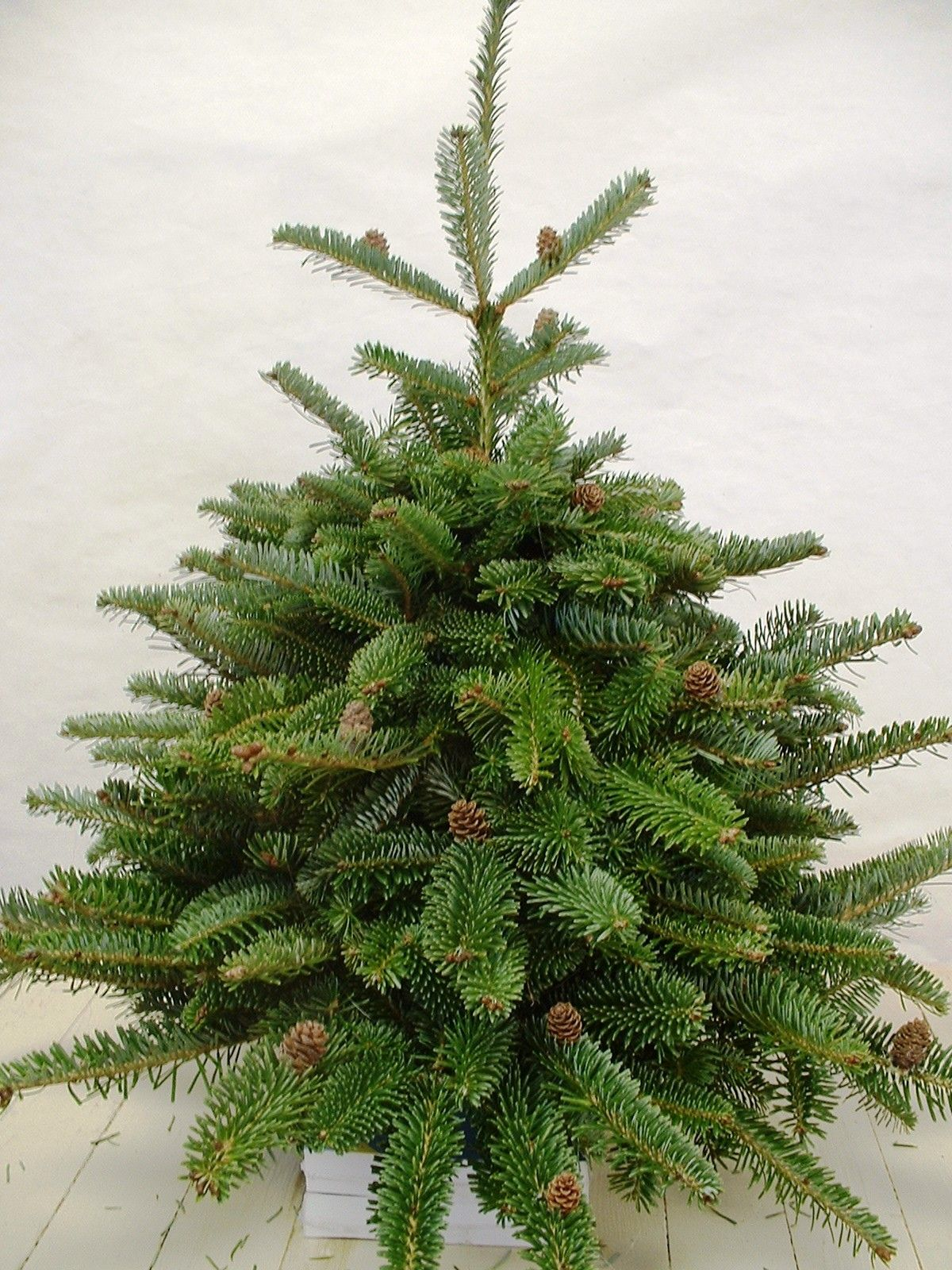 Articifical Vs Real Which Christmas Tree Is More Eco Friendly Real Xmas Trees Live Christmas Trees Realistic Artificial Christmas Trees