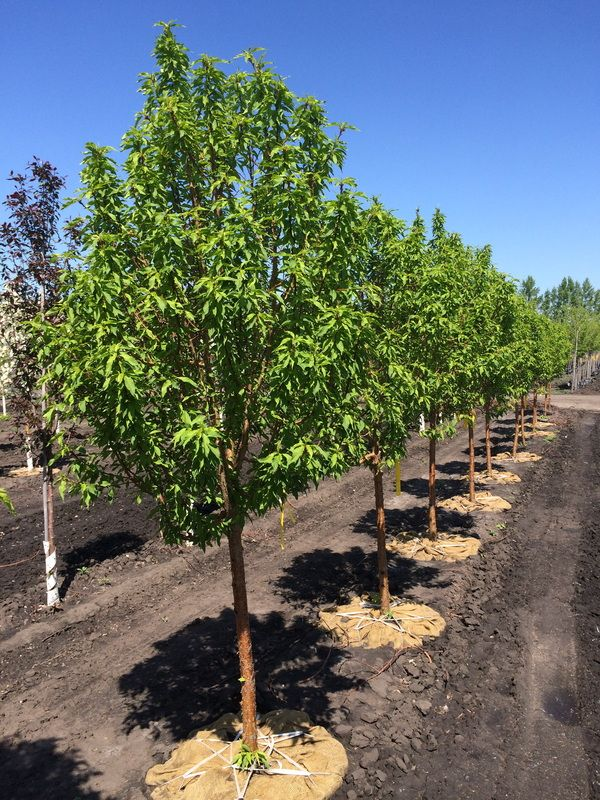 Goldspur Amur Cherry Prunus Maackii Jefspur 20 Tall 10 Wide This A More Compact Selection Of Amur Cherry Selected Out Of Manitoba This Beautiful Select
