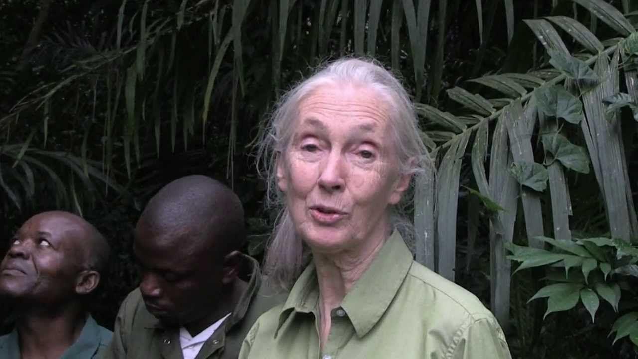 Wounda's Journey: Jane Goodall releases chimpanzee into ...