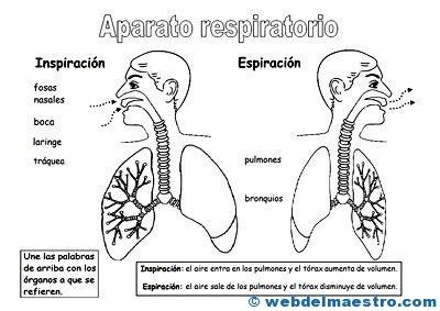 Aparato Respiratorio Para Ninos Jpg 400 283 Aparato Respiratorio Sistema Respiratorio Para Ninos Organos Del Aparato Respiratorio
