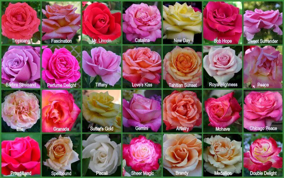 сорта роз с фото и названиями эквадор данной странице